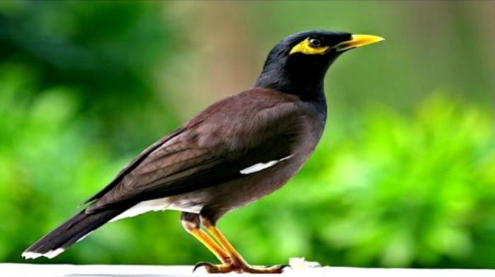 Giải mã giấc mơ thấy chim sáo đánh con gì ăn to trúng lớn?   274903120
