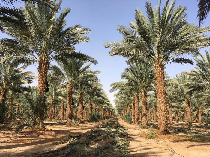 Tìm hiểu chi tiết về ý nghĩa phong thủy của cây chà là cảnh 1344594949