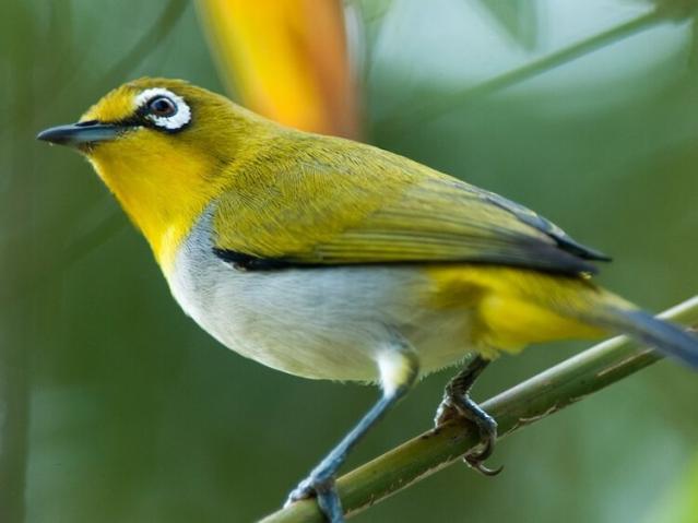 Mơ thấy chim vành khuyên mang điềm báo gì? 1301238998