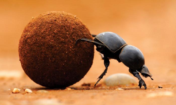 Mơ thấy con bọ hung có ý nghĩa như thế nào? Đánh số mấy? 1129877171