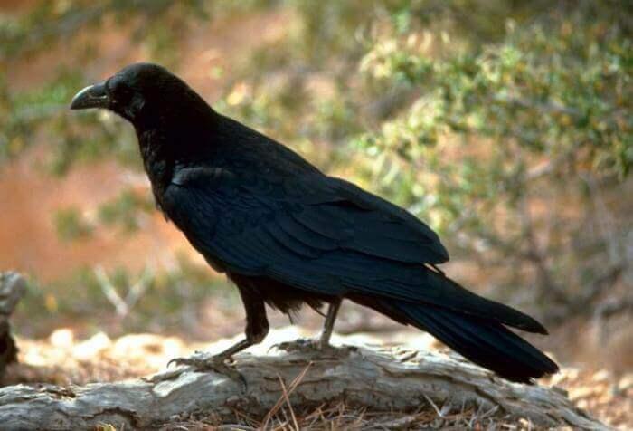 Mơ thấy con quạ là điềm gì và đánh số con gì dễ trúng nhất? 1792411634
