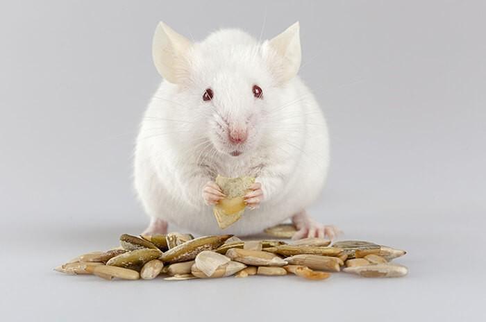 Giải mã giấc mơ thấy chuột bạch/chuột trắng mang điềm báo tốt hay xấu? 1717519627
