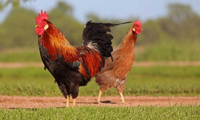 35+ hình ảnh con gà trống đẹp và mới lạ nhất  422298173
