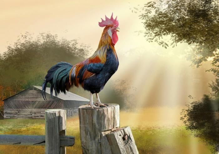 35+ hình ảnh con gà trống đẹp và mới lạ nhất  373908714