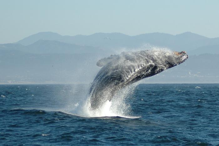 Giải mã giấc mơ thấy cá voi đánh con gì trúng lớn? 200979982