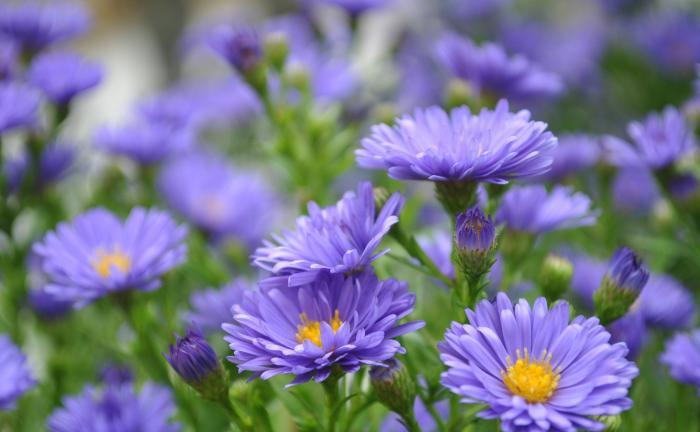 Mơ thấy hoa thạch thảo đánh con số nào may mắn? 1788824963