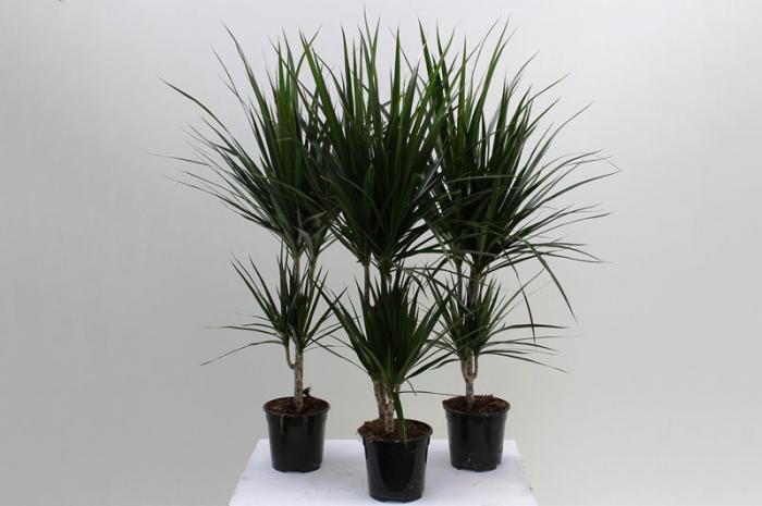 Bật mí những thông tin hữu ích về cây Phất Dụ 538952505