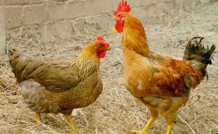 Tìm hiểu bệnh ký sinh trùng đường máu ở gà 1264213938