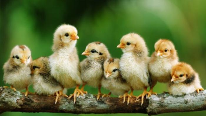 Tìm hiểu về cách nhận biết gà con trống và mái chuẩn nhất 167745711