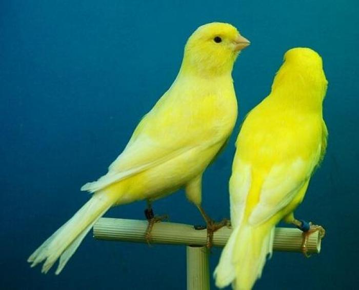 Giải mã giấc mơ thấy chim Hoàng Yến là điềm gì? 88341970