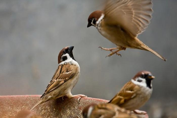 Mơ thấy chim sẻ đánh con gì? Điềm báo như thế nào?  1521714314