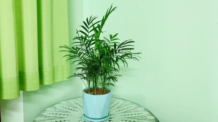 Tìm hiểu về ý nghĩa phong thủy của cây cau tiểu trâm 1709471724