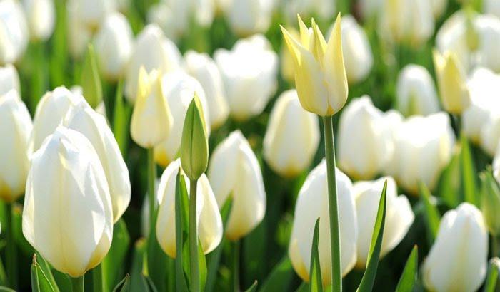 Ý nghĩa hoa Uất Kim Hương là gì trong phong thủy và tình yêu? 976504155