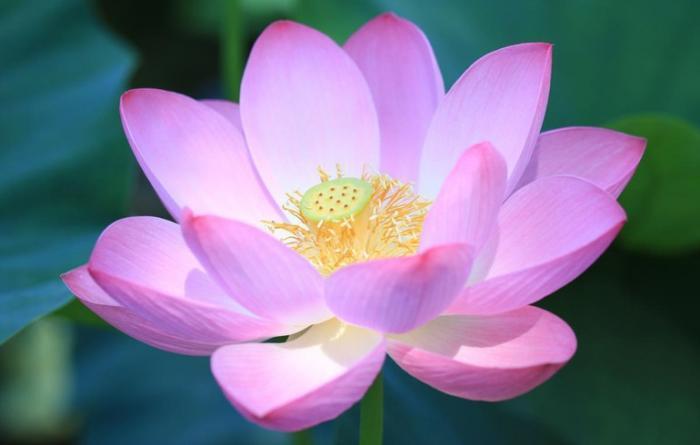 Giải mã giấc mơ thấy hoa sen đánh con gì trúng lớn? 336411163