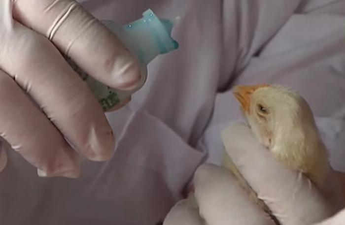 Cách tiêm vacxin cho gà chọi con như thế nào?  14978467