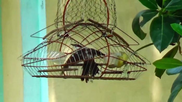 Giải mã giấc mơ thấy đi bẫy chim chi tiết nhất 438112822