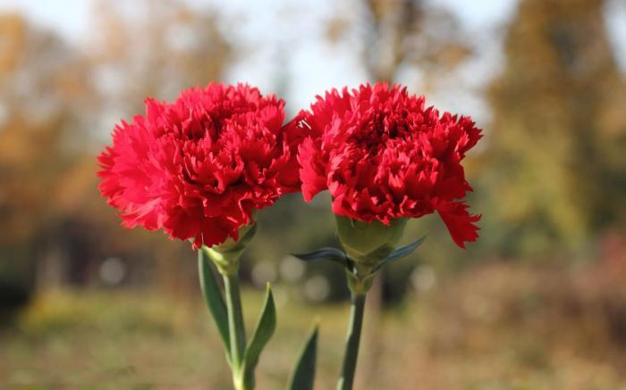 Nằm mơ thấy hoa cẩm chướng ghi lô đề con nào trúng lớn?  1771400705