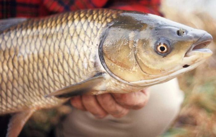 Giải mã giấc mơ thấy cá trắm mang điềm báo tốt hay xấu? 616642620