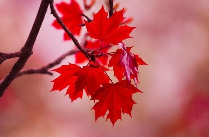 Khám phá những thông tin thú vị về giống cây lá đỏ 1877639879
