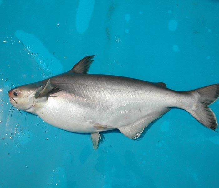 Mơ thấy cá dứa đánh con gì trúng lớn nhanh chóng nhất? 1571197322