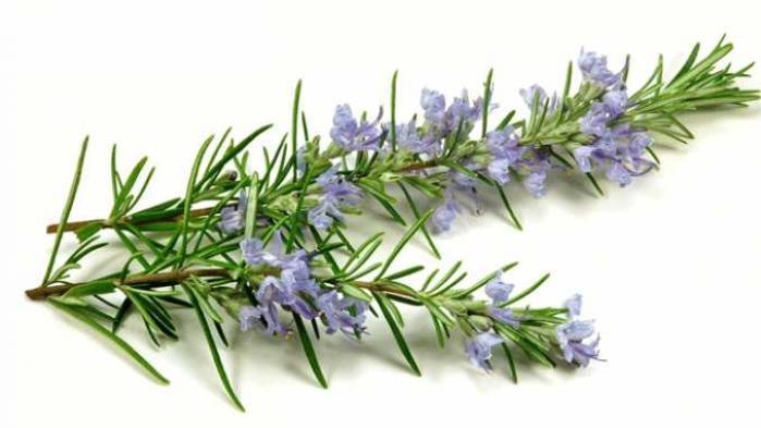 Bật mí ý nghĩa trong đời sống của cây hương thảo 1746095472