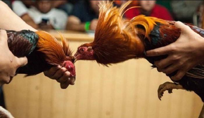 Đá gà Thomo là gì? Vì sao đá gà Thomo thu hút đông người chơi? 1093892951
