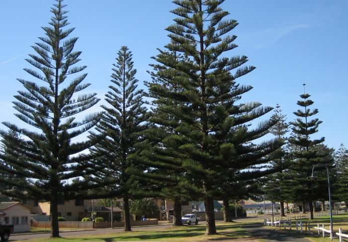 Ý nghĩa phong thủy của cây Tùng Bách Tán 1545226008