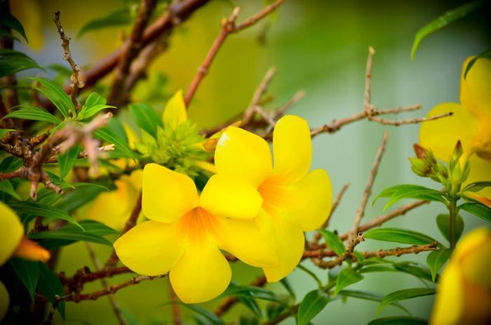 Ý nghĩa phong thủy đặc biệt của cây hoa Huỳnh Anh 86108544