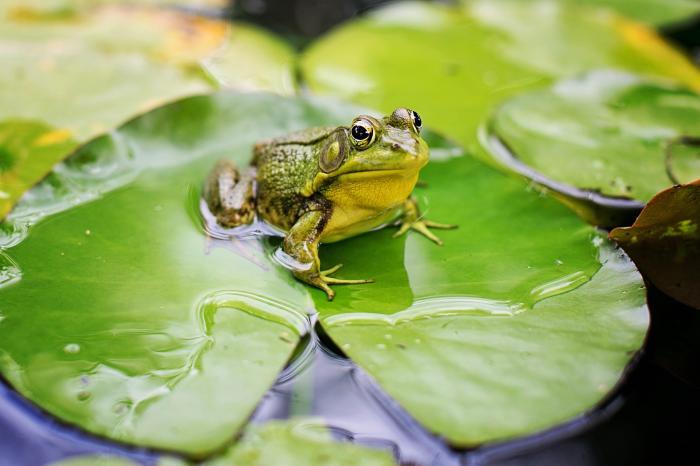 Giải mã giấc mơ thấy con ếch mang điềm báo gì? 94102917