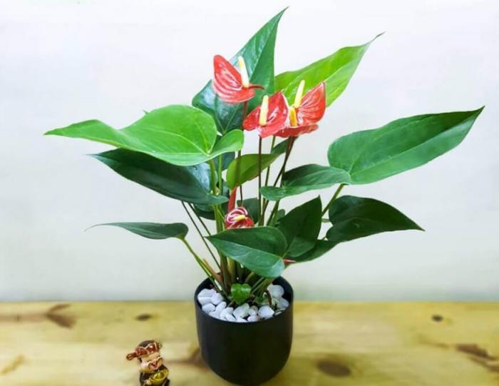 Khám phá ý nghĩa của cây hồng môn trong phong thủy 566835959