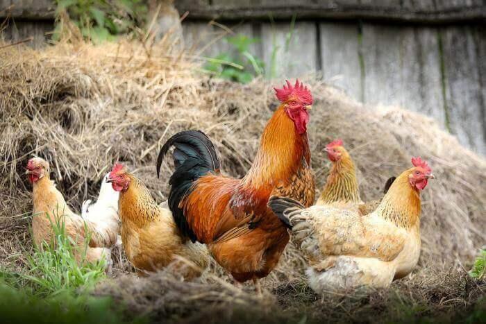 Mơ thấy gà có điểm gì và đánh con gì chính xác 1596735876
