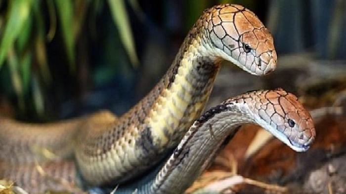 Giấc mơ thấy 2 con rắn mang điềm báo tốt hay xấu? 208541786