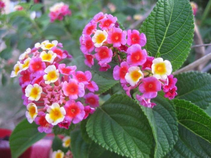 Mơ thấy hoa ngũ sắc là điềm hung hay cát? 2039339056