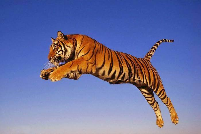 Mơ thấy cọp (hổ) đánh con gì và có điềm báo gì? 1023103469