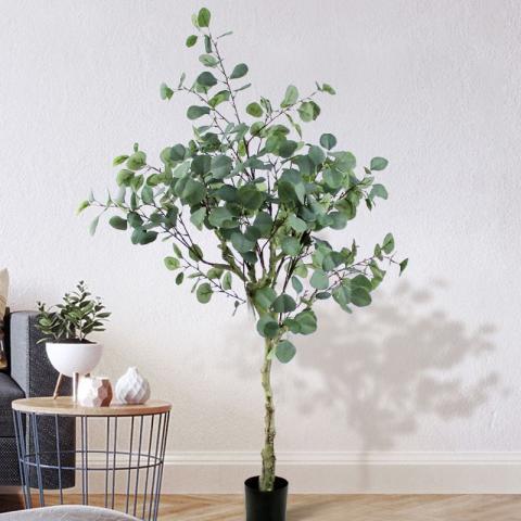 Khám phá ý nghĩa phong thủy của cây khuynh diệp cảnh 312541761