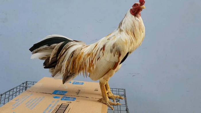 Những thông tin xung quanh về gà vảy rồng 1202649824