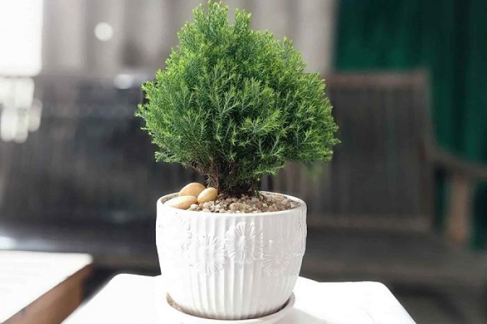 Khám phá ý nghĩa sâu sắc của cây Tuyết tùng 1952957159