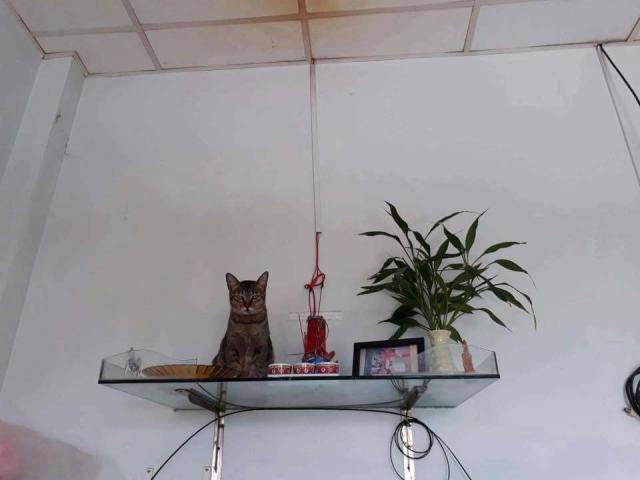 Giải đáp thắc mắc mèo nhảy lên bàn thờ có sao không?  1688724292