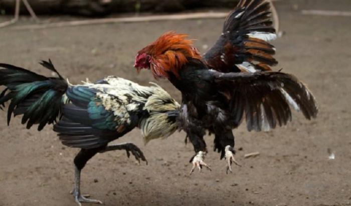 Đá gà cựa sắt là gì? Dòng giống gà chọi nào để chơi đá gà cựa sắt? 2100493106