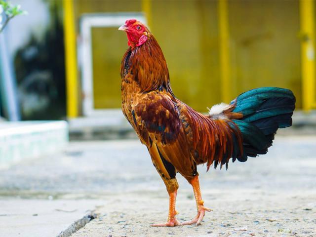 Bật mí cách nuôi gà mau lên ký vô cùng đơn giản 314815467