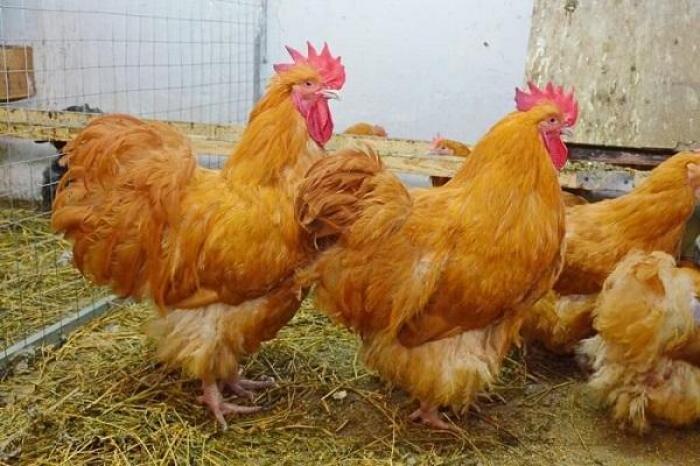 Tìm hiểu những thông tin thú vị liên quan đến gà Orpington 2011769524