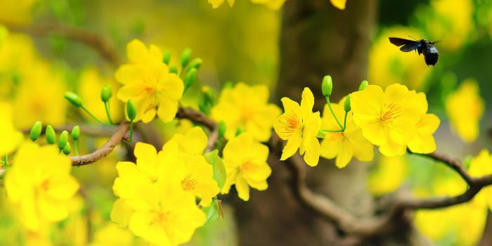 Ý nghĩa phong thủy của cây hoa Mai 1895126397