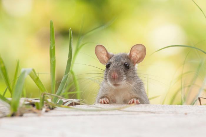Giải mã giấc mơ thấy chuột con và những điềm báo chuẩn xác nhất 314471683