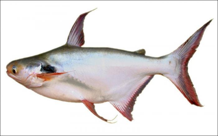 Giải mã giấc mơ thấy cá bông lau đánh con gì? 854967747