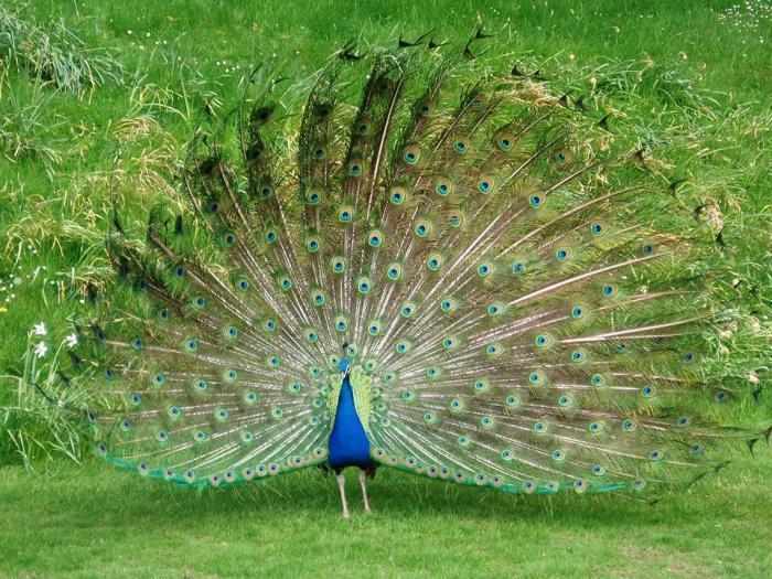 Mơ thấy chim công ghi số đề nào để có thể ăn to và trúng lớn?  1920055464