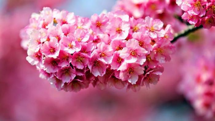 Mơ thấy hoa đào điềm tốt hay điềm xấu? Con số nào may mắn?  1738641964