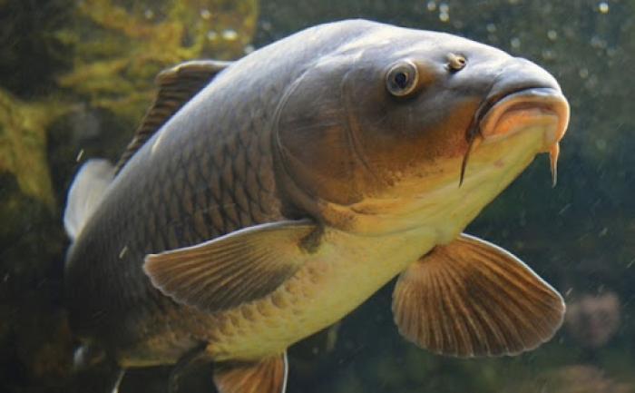 Nằm mơ thấy cá chép mang điềm báo gì? Nên đánh con gì? 1585773730