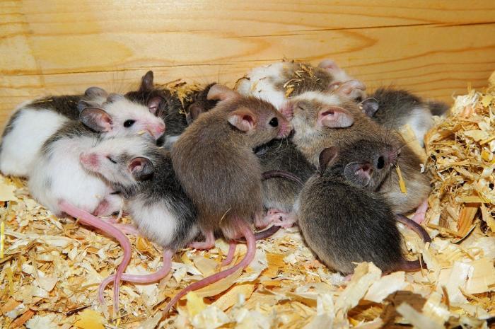 Nằm mơ thấy nhiều chuột ẩn chứa điều gì? 335702279
