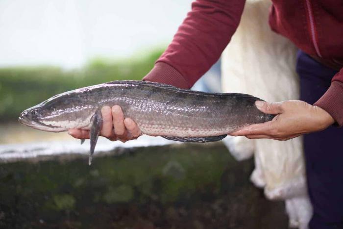 Giấc mơ thấy cá lóc ẩn chứa điều gì? Đánh con gì trúng lớn? 2499500