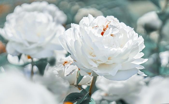 Ý nghĩa hoa mẫu đơn theo màu sắc và trong phong thủy 907791126